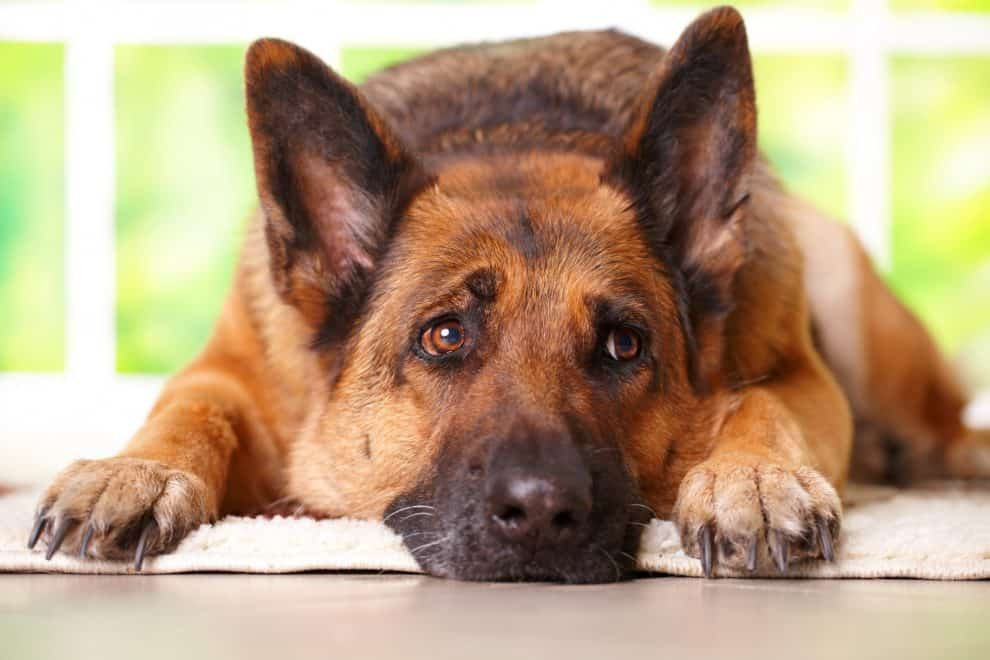 can any dog catch kennel cough