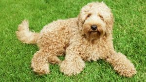 can labradoodles live outside