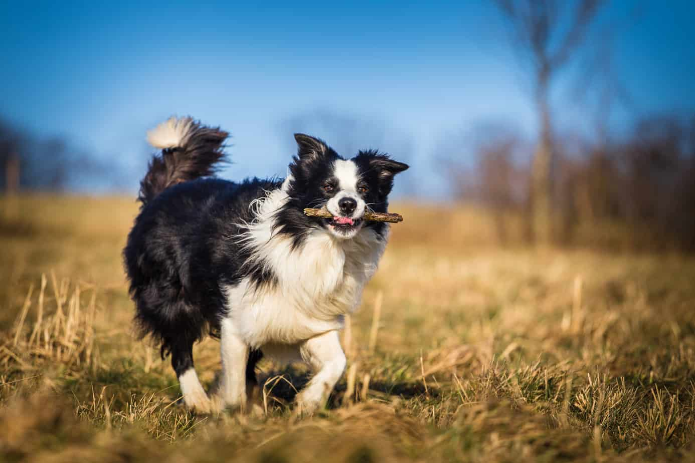 border collie playing fetch