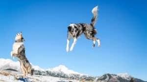 how high can border collies jump