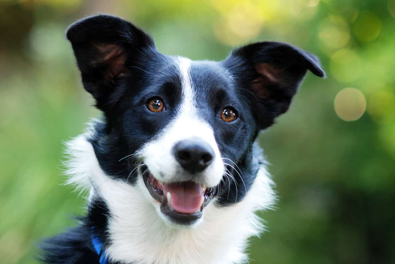 why does my border collie stare
