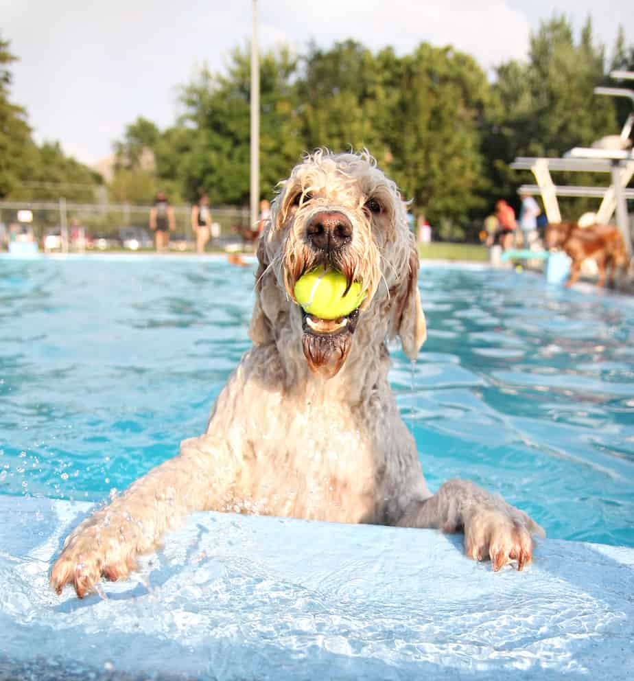 can labradoodles swim