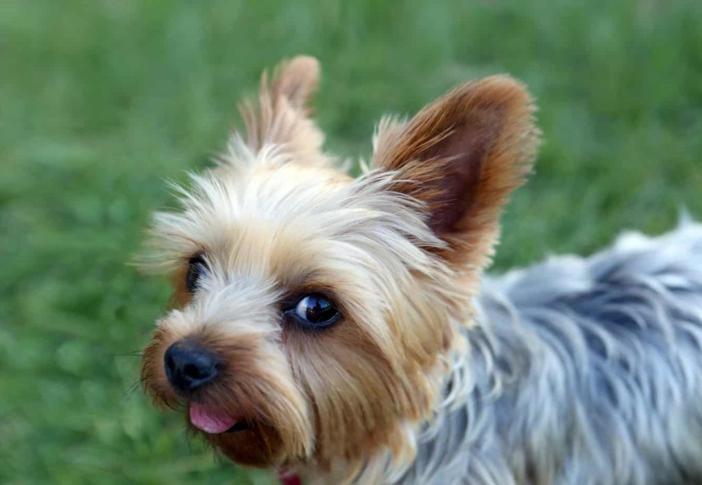 Yorkshire terrier coat