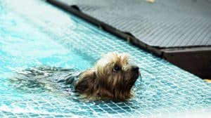 can a Yorkshire-Terrier swim