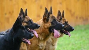 are german shepards hard to train
