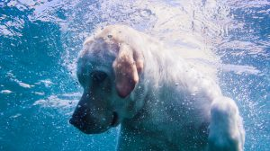 can dogs swim under water