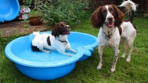 are english springer spaniels easy to train