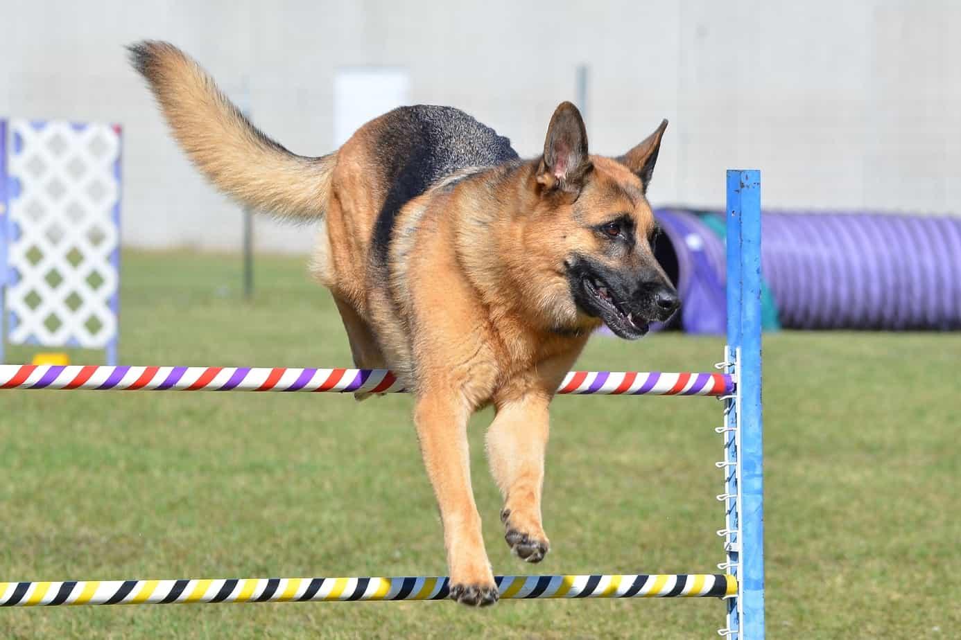 german sheperd agility