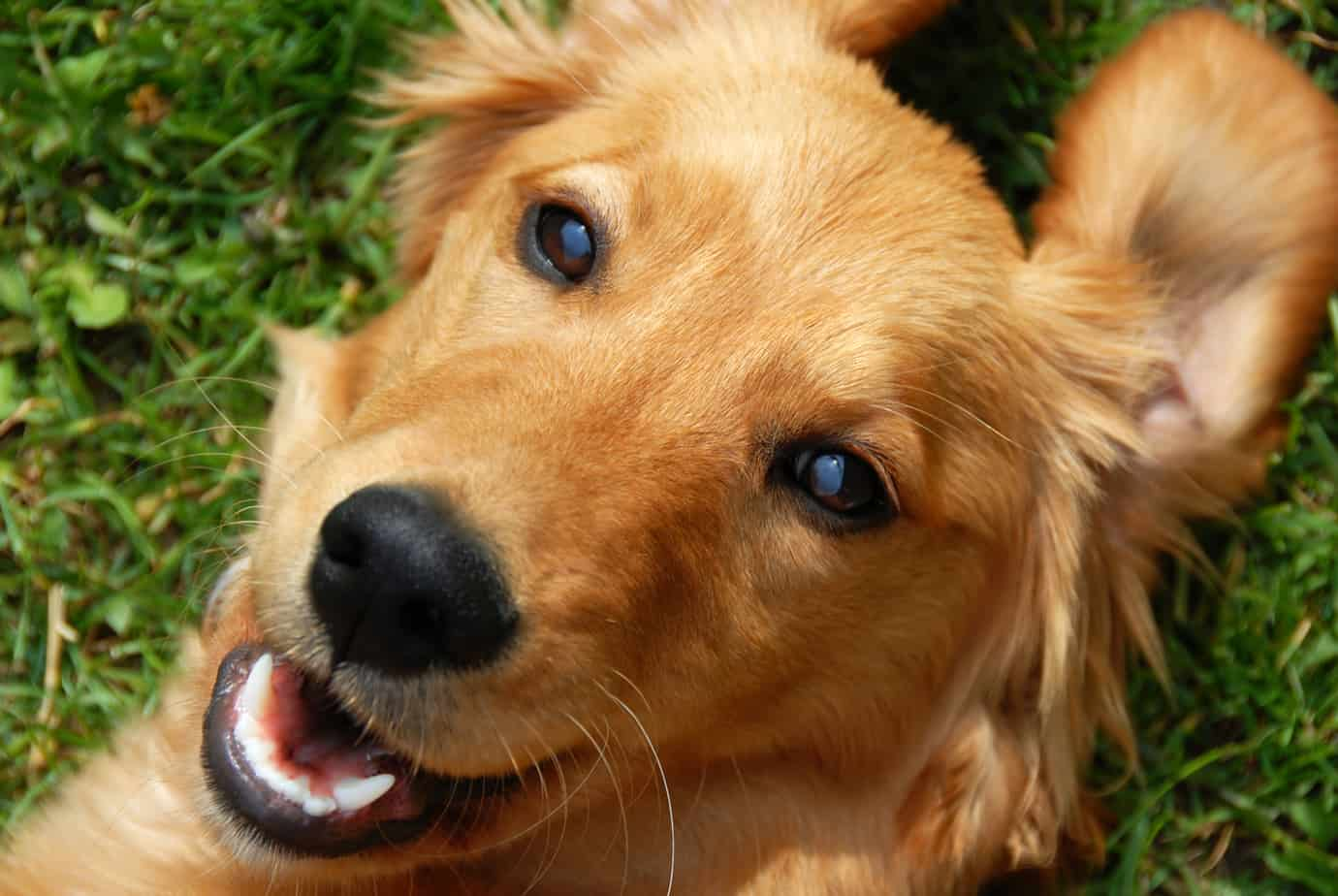 are golden retrievers hypoallergenic