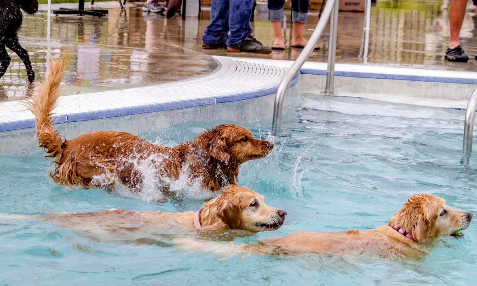 can Golden Retrievers swim