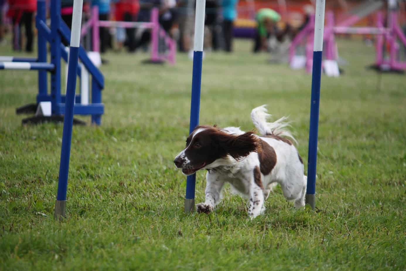 English Springer Spaniel doing agility weave poles