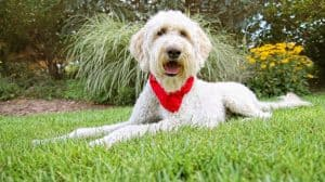can a Goldendoodle make a good service dog
