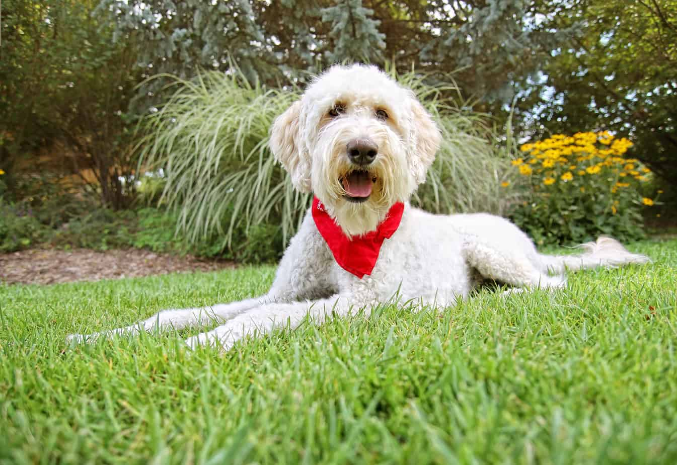 can a Goldendoodle make a good service dog