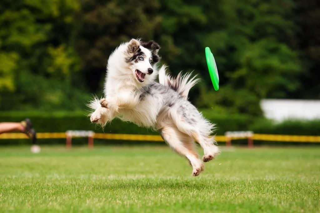 Border collies are high energy