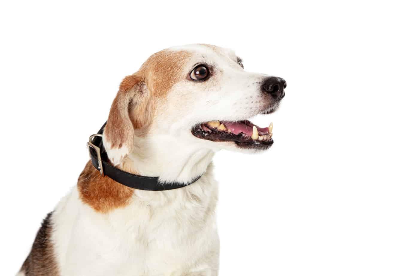 corgle beagle corgi mix