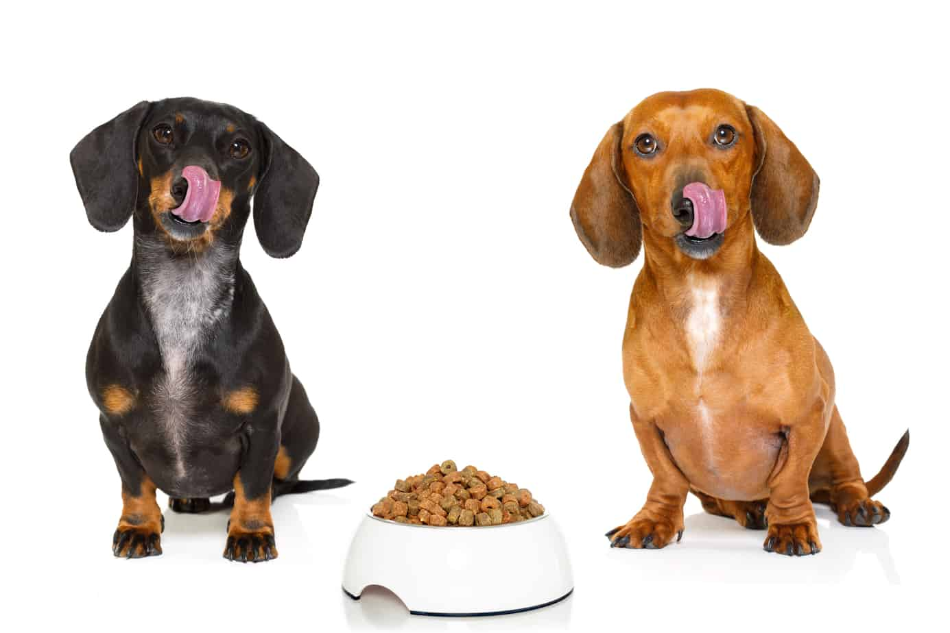 dapple dachshund diet