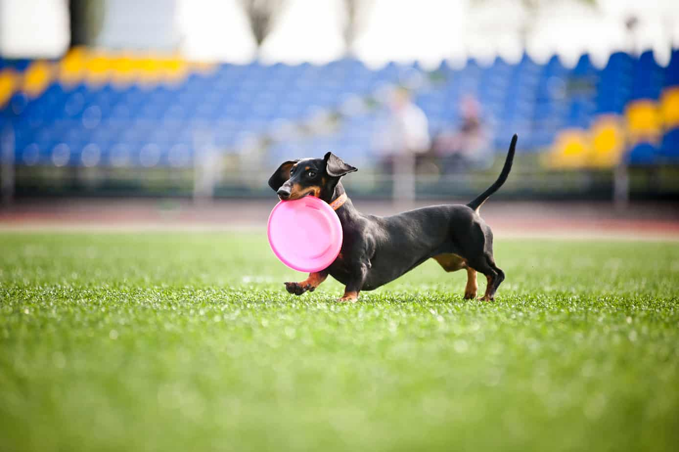 dapple dachshund training