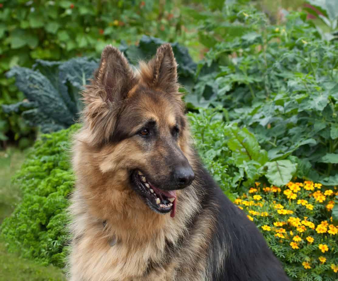 German Shepherd coat length