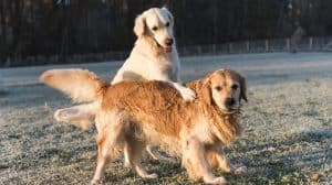 Golden Retriever jealous