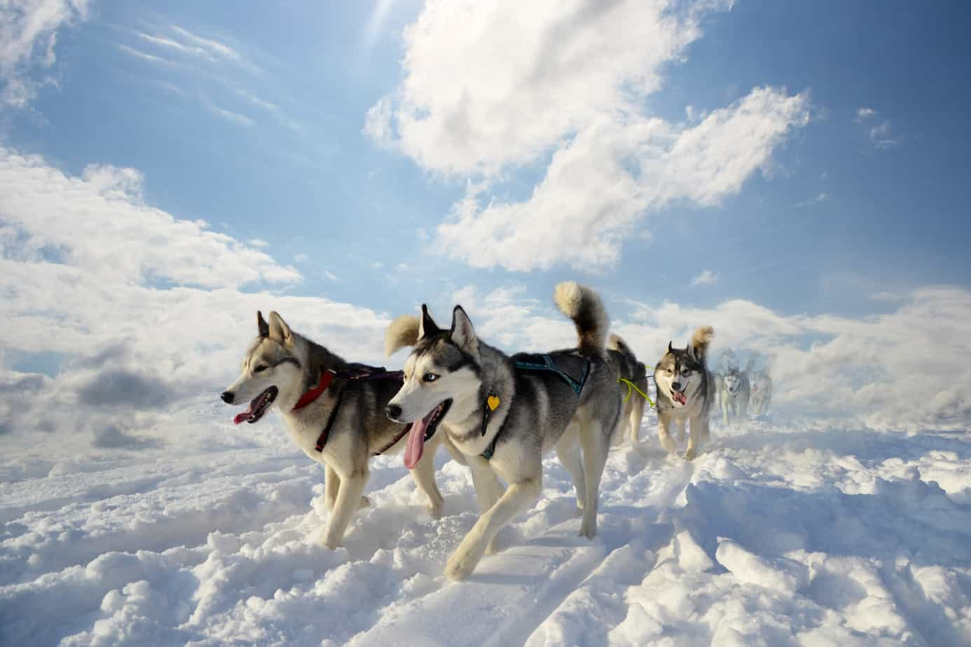 husky outdoors