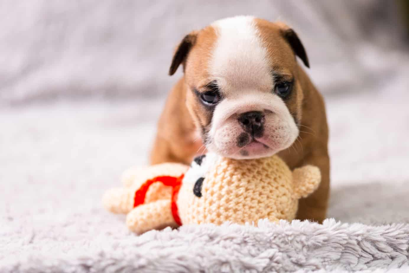 miniature bulldog puppy