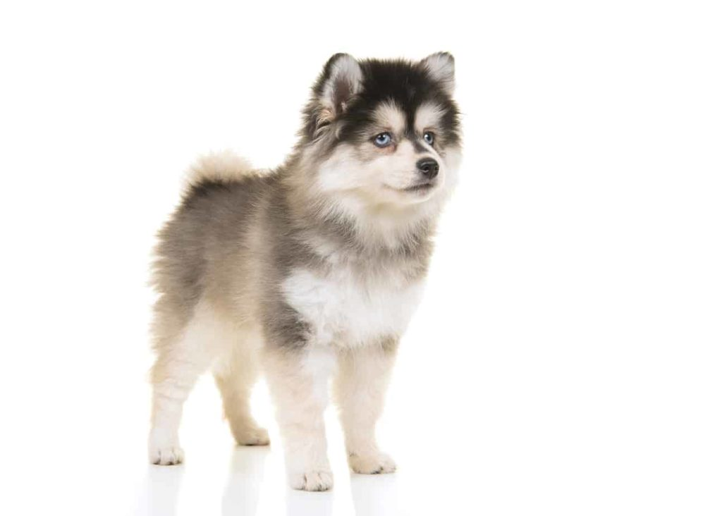 pomsky not hypoallegenic