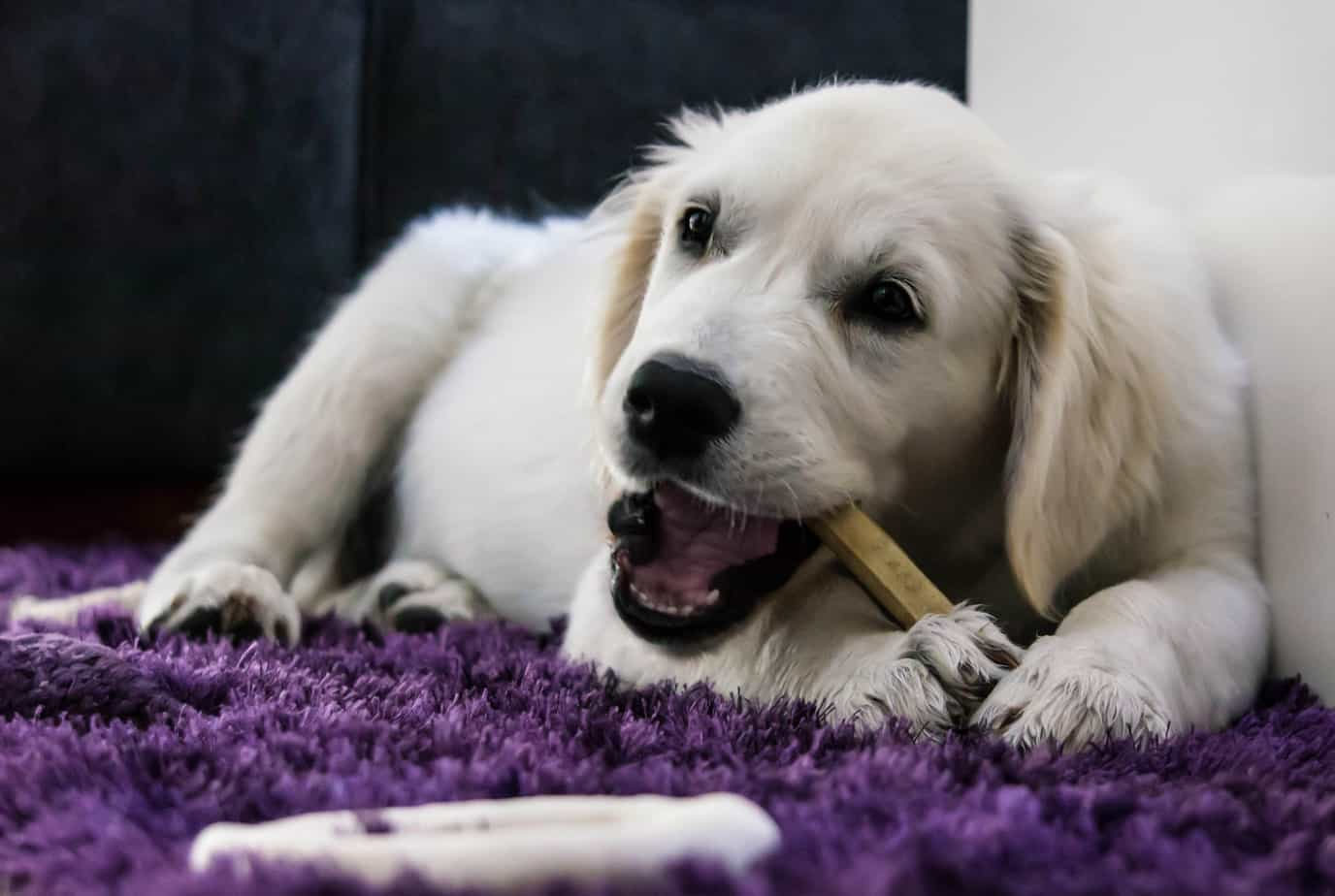 teach your golden retreiver to play by himself