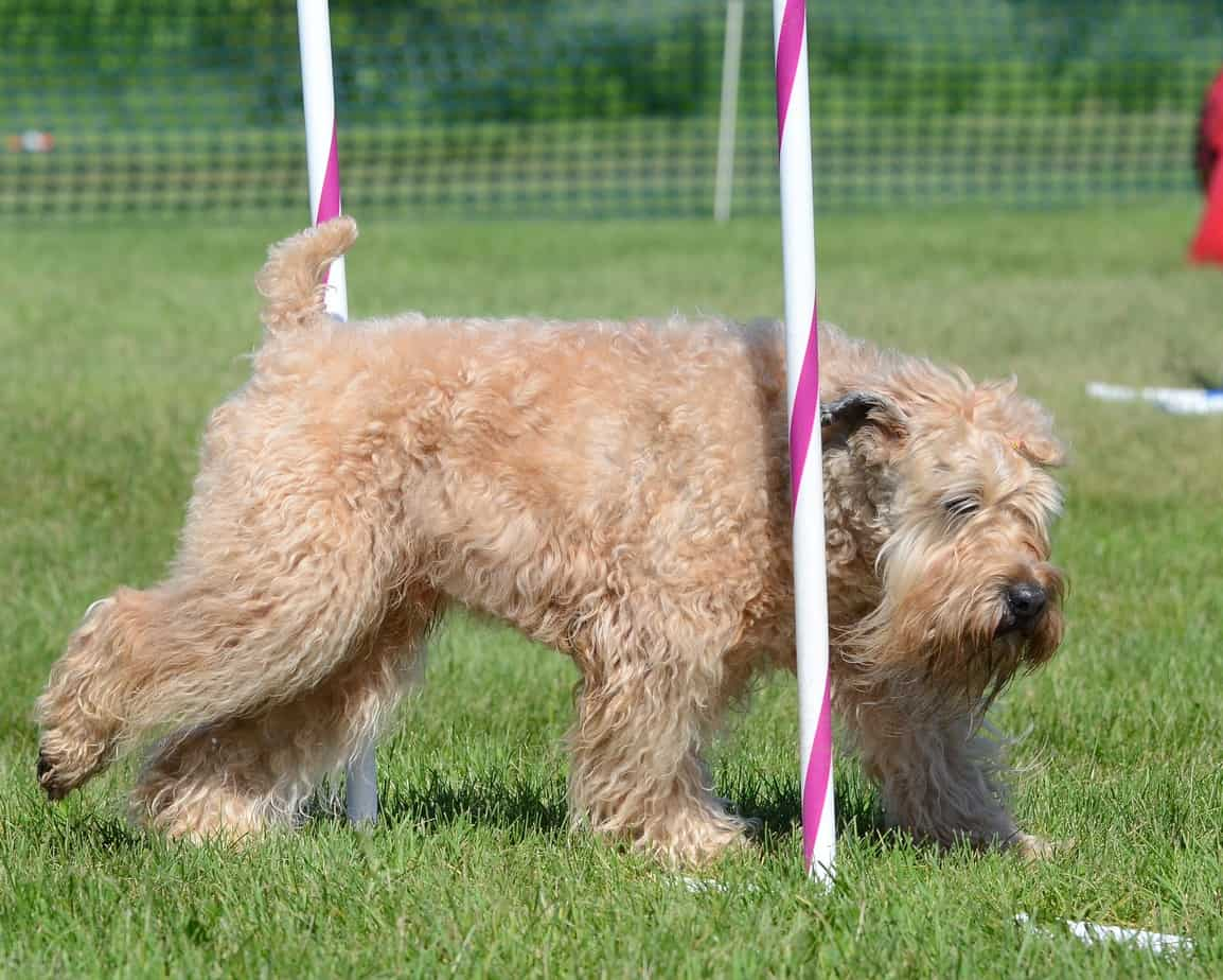 Soft-Coated Wheaten Terrier at a Dog Agility Trial