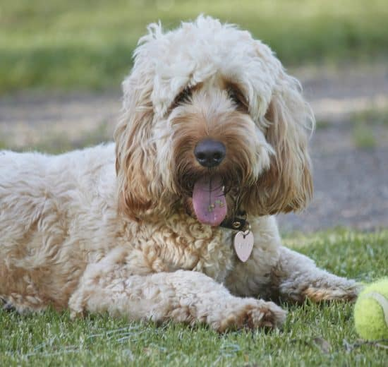 Whoodle breed