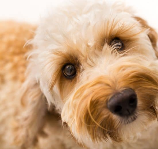 are labradoodles prone to anxiety